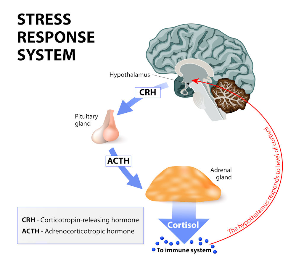 Stress and Weight Loss: The stress response system
